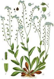 Šumska potočnica – Wikipedija