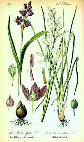 Scilla bifolia autumnalis non-scripta italica maritima