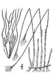 Plants Profile for Trichophorum alpinum (alpine bulrush)