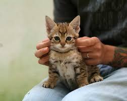 """Résultat de recherche d'images pour """"chat savannah"""""""