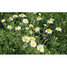 Genere Anacyclus - Flora Italiana