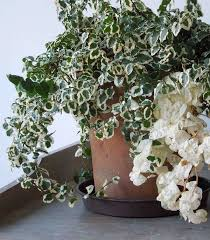 creeping fig variegated creeping fig_mini best office plant no sunlight