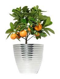 glory peach natural dwarf patio prunus plant a dwarf citrus indoors  plant a dwarf citrus indoors