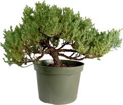 juniper bonsai tree upright 1506 bought bonsai tree