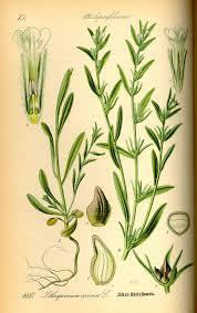Buglossoides — Wikipédia