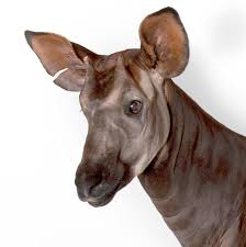 Okapi, facts and photos