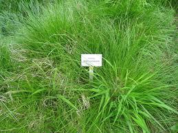 Carex appropinquata - Wikipedia