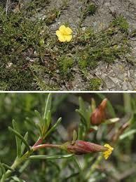 Fumana procumbens (Dunal) Gren. & Godr. | Naviga la Flora | Flora ...