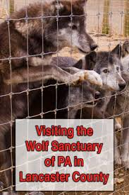 17 best ideas about lancaster pennsylvania amish howling wolves at the wolf sanctuary of pa