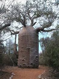 Resultado de imagem para podemos tomar a água do baobá?
