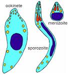 sporozoite