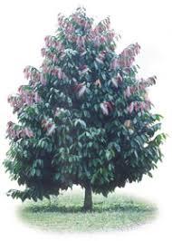 Bentuk tanaman kayu manis