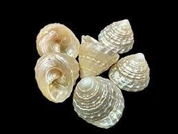 Buy Divine Shoppe <b>100</b>% <b>Genuine Natural Pearl</b> sankh for puja Set ...