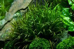 Blyxa japonica | Aquatic Plants | Species Profiles | TFH Magazine®