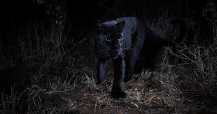 """Black <b>leopard</b> mauls Florida man who paid $150 to have """"full contact ..."""