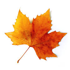 Image result for fall maple leaf