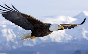 Image result for picture of large soaring mountain birds