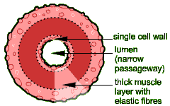 Image result for artery cross section