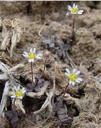 Draba verna - Online Virtual Flora of Wisconsin