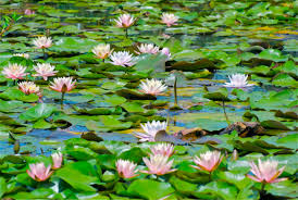 Image result for pond lily