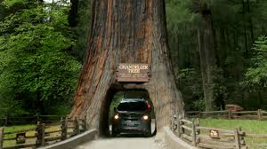 Image result for redwood