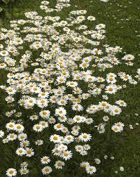 Սպիտակածաղիկ - Վիքիպեդիա՝ ազատ հանրագիտարան