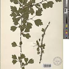 Crataegus macrocarpa Hegetschw. (BR0000024837514)