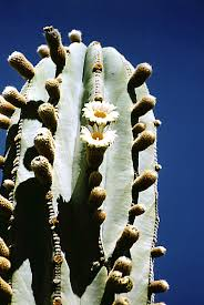 Mexican giant cactus