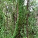 Images & Illustrations of climbing maidenhair fern
