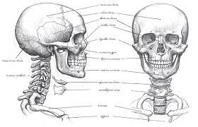 День №15. Нарисуй <b>череп</b> человека и научись анатомически ...