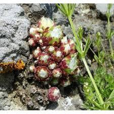 Genere Sempervivum - Flora Italiana