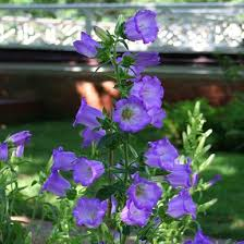 Canterbury Bells (Campanula medium) - Monticello Shop