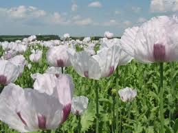 <b>Poppy</b> (<b>Papaver</b> somniferum) <b>field</b>, France | Feedipedia