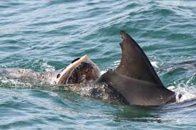 boaties need to be mindful of dolphins scoop news boaties need to be mindful of dolphins