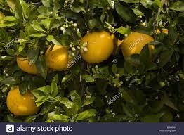 lemon tree x: lemon tree citrus x lemon with both fruit and blossom in spring
