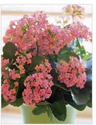 Image result for pink kalanchoe plants
