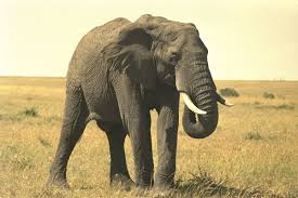 hunting elephants essay the us brings the highest number of sport hunters to zimbabwe in these constituted for all land categories american clients generally constitute