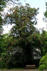 Hippocastanaceae - Wikipedia