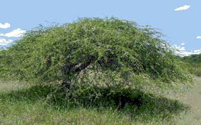 Image result for images of babul tree