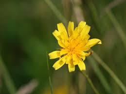 Scorzoneroides autumnalis - Wikipedia