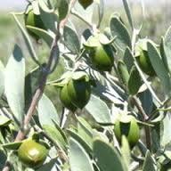「ホホバ種子」の画像検索結果