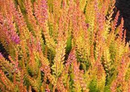 Calluna vulgaris 'Firefly' (Heather)