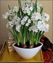 Image result for Free photos of Paperwhites