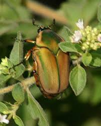 What's That Bug? Cotinis nitida, the Green June Beetle - Dave's ...
