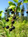 hagberry