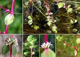 Illecebrum verticillatum L. - Guida alla flora degli stagni temporanei ...