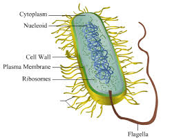 please give me the well labeled diagram of bacterial call acirc    well labelled diagram of a bacterial cell
