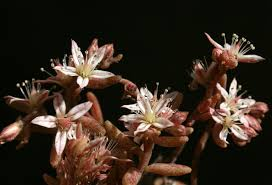 Sedum rubens L. | Flora of Israel Online