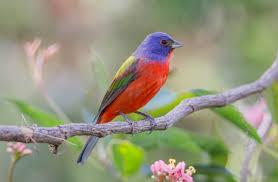 <b>Painted</b> Bunting | Audubon Field Guide