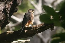 Falco novaeseelandiae
